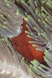 Primer magnífico de la anémona. Fotos de archivo