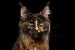 Primer Maine Coon Cat Gaze Looks aislada en fondo negro foto de archivo