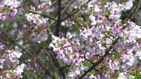 primer maravilloso 4K de la rama de la cereza de florecimiento Sakura floreciente hermoso almacen de metraje de vídeo