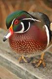 Primer masculino del pato de madera Foto de archivo libre de regalías
