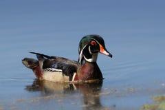 Primer masculino del pato de madera en el agua Imagen de archivo libre de regalías