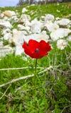 Primer mediterráneo salvaje rojo de la flor de la región del coronaria de la anémona Imágenes de archivo libres de regalías