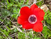 Primer mediterráneo salvaje rojo de la flor de la región del coronaria de la anémona Fotografía de archivo
