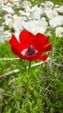 Primer mediterráneo salvaje rojo de la flor de la región del coronaria de la anémona Fotos de archivo libres de regalías