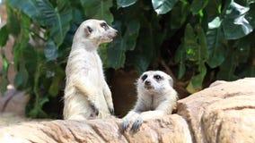 Primer Meerkats que se coloca en parque zoológico metrajes