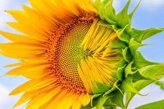 primer Mitad-soplado del girasol en los rayos del sol del verano Imagenes de archivo