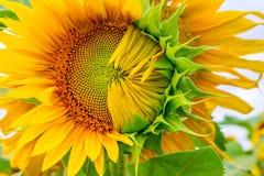 primer Mitad-soplado del girasol en los rayos del sol del verano Fotos de archivo libres de regalías