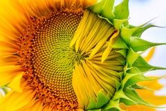 primer Mitad-soplado del girasol en los rayos del sol del verano Foto de archivo