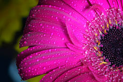 Primer mojado fresco de la flor del gerbera en la primavera Grande como tarjeta del fondo o de felicitación Fotos de archivo