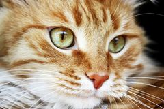 Primer mullido del gato del jengibre Fotos de archivo