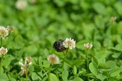 Primer mullido grande del abejorro Imagen de archivo