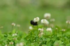 Primer mullido grande del abejorro Foto de archivo libre de regalías