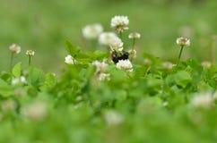 Primer mullido grande del abejorro Fotografía de archivo libre de regalías
