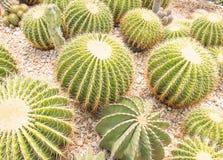 Primer nacional del cactus en desierto Fotos de archivo