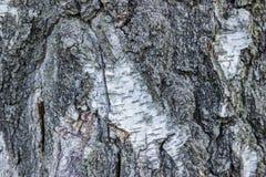 Primer natural del documento de información de la textura de la corteza de abedul Árbol de abedul Foto de archivo libre de regalías