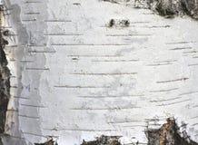 Primer natural del documento de información de la textura de la corteza de abedul Foto de archivo