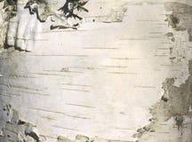 Primer natural del documento de información de la textura de la corteza de abedul Fotos de archivo libres de regalías