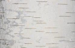 Primer natural del documento de información de la textura de la corteza de abedul Foto de archivo libre de regalías