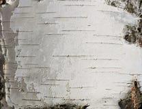 Primer natural del documento de información de la textura de la corteza de abedul Imagen de archivo