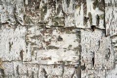 Primer natural del documento de información de la textura de la corteza de abedul Fotografía de archivo