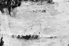 Primer natural del documento de información de la textura de la corteza de abedul/foto blanco y negro Fotografía de archivo