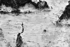 Primer natural del documento de información de la textura de la corteza de abedul/foto blanco y negro Fotos de archivo libres de regalías