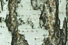 Primer natural del fondo de la corteza de abedul Foto de archivo libre de regalías
