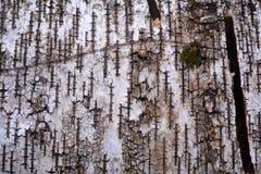 Primer natural del fondo del papel de la textura de la corteza de abedul del modelo del árbol de abedul Foto de archivo