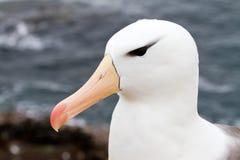 primer Negro-cejudo del albatros Foto de archivo libre de regalías