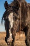 Primer negro del caballo Fotografía de archivo