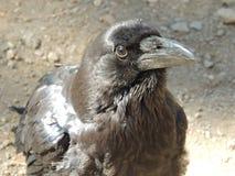 Primer negro del cuervo Foto de archivo