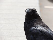 Primer negro del cuervo Fotos de archivo