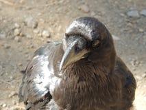 Primer negro del cuervo Fotografía de archivo libre de regalías