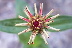 Primer no florecido de la flor del Zinnia Fotografía de archivo libre de regalías