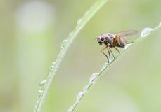 Primer observado rojo de la mosca imágenes de archivo libres de regalías