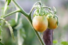 Primer orgánico creciente de la rama de los tomates Escena agrícola de la vida de la cama del jardín del invernadero aún Profundi Fotos de archivo libres de regalías