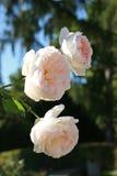 Primer pálido de las rosas blancas Imagen de archivo
