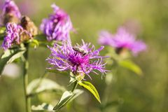 Primer púrpura con una abeja, polinización de la flor Foto de archivo libre de regalías