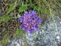 Primer púrpura de la flor del campo de la primavera en la hierba Foto de archivo libre de regalías