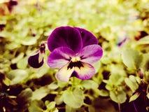 primer púrpura de la flor del pensamiento Imagen de archivo libre de regalías