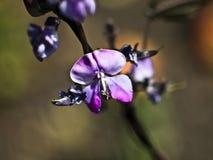 Primer púrpura de la flor mientras que florece en un fondo borroso hermoso Fotografía de archivo libre de regalías