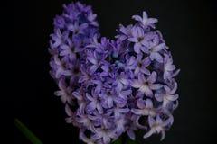 Primer púrpura de la floración del jacinto Imagenes de archivo