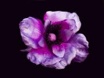 Primer púrpura de la peonía aislado en un fondo negro artificial Foto de archivo