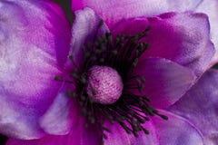 Primer púrpura de la peonía aislado en un fondo negro artificial Fotografía de archivo