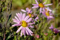 Primer púrpura de las margaritas en fondo del prado floreciente fotos de archivo