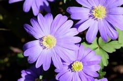 Primer púrpura de las pistas de flor Foto de archivo libre de regalías
