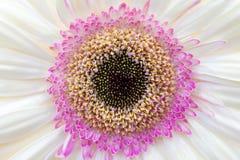 Primer púrpura de los pétalos del girasol Imagen de archivo libre de regalías