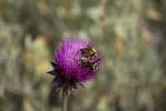 Primer púrpura del cardo con dos abejorros Foto de archivo libre de regalías