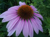 Primer púrpura del coneflower Foto de archivo