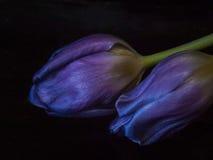 Primer púrpura del tulipán Imágenes de archivo libres de regalías
